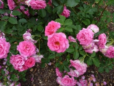 Chosun Roses 006