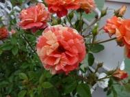 Chosun Roses 007
