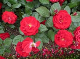 Chosun Roses 011
