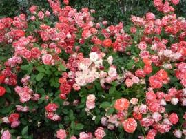 Chosun Roses 013