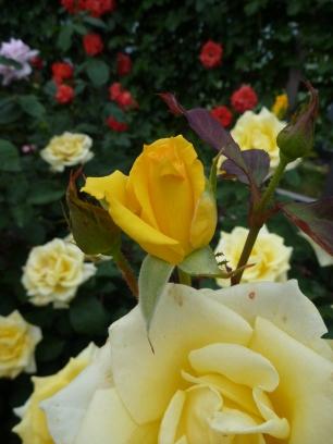 Chosun Roses 015