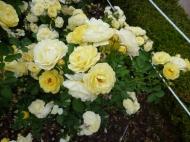 Chosun Roses 019