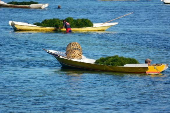 Lembongan Seaweed Harvest