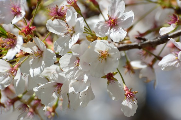 Cherry Blossoms - Jusang 095