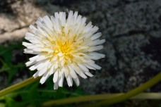 White dandelion?