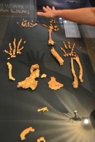 Casts of the remains of Lucy.