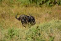 Buffalo - our first major animal sighting.