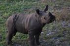 Yep, that's a baby white rhino.