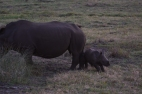 And that's a baby white rhino frolicking around it's mother.