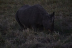 That, however is a black rhino.
