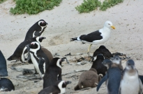 The penguins were quite aggressive about chasing this seagull away from their nests.